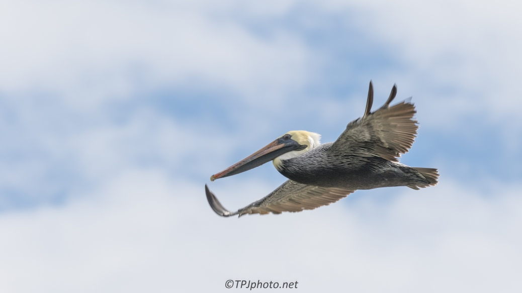 Pelican Fly By - click to enlarge