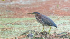Green Heron In The Swamp Weeds - click to enlarge