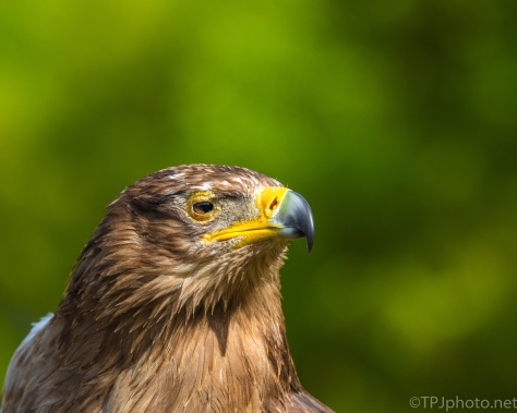 Red-tailed Hawk, Poor Vision But Gets Around Just Fine - click to enlarge