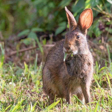 Marsh Rabbit In The Open - click to enlarge