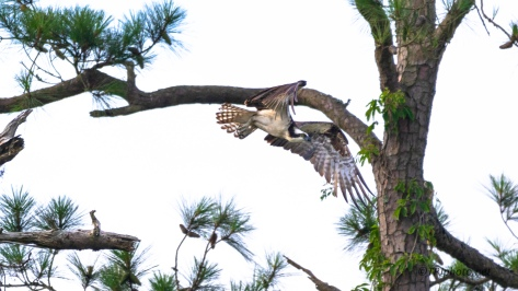 Osprey In The Pines - click to enlarge