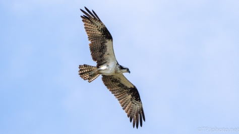 Osprey Nesting - click to enlarge