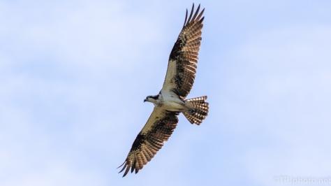 Osprey Nesting - click to enlarge
