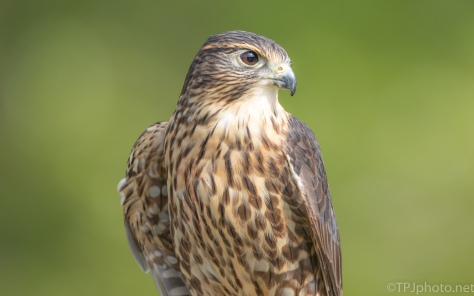 Merlin - click to enlarge