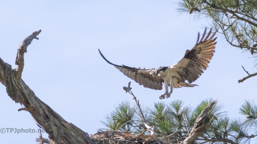 Osprey, Making An Entrance - click to enlarge