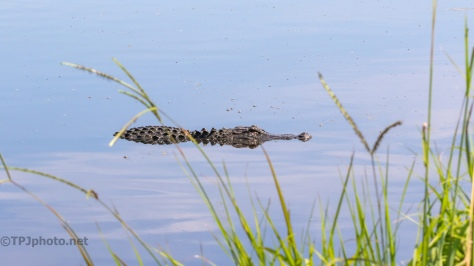 By The Marsh Edge, Alligator - click to enlarge