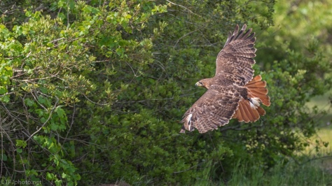 Gliding Harris Hawk - click to enlarge