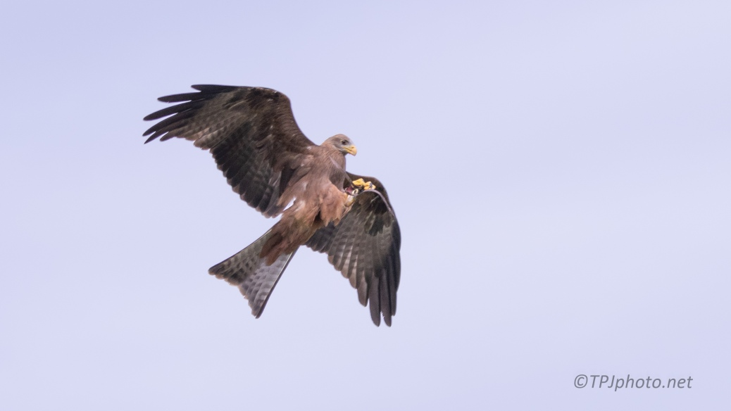 Kite, Eating In Mid Air - click to enlarge