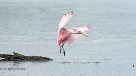 Controlled Crash Landing, Spoonbill - click to enlarge
