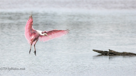 Another Spoonbill Flying In - click to enlarge