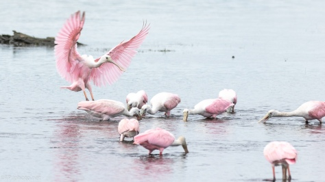 Moving Between Groups, Spoonbill - click to enlarge