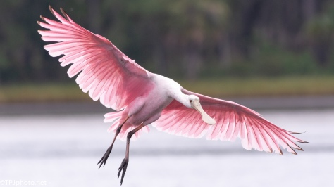 Spoonbill Photograph For Header - click to enlarge
