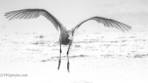 Sharing Space, Spoonbill - click to enlarge