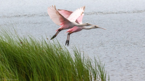 Spoonbill Fly By - click to enlarge