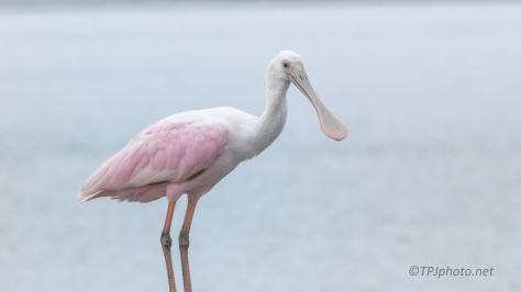 A Favorite, Spoonbill - click to enlarge