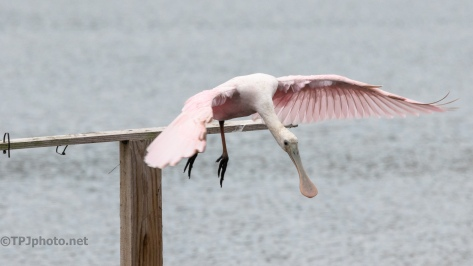 That Special Spot, At Least To A Spoonbill - click to enlarge
