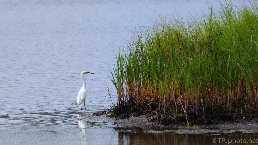 Egret Watching For Activity - click to enlarge