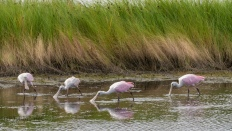 Roaseate Spoonbills Feeding By The Marsh Grass - click to enlarge