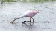Speed Feed, Spoonbill - click to enlarge