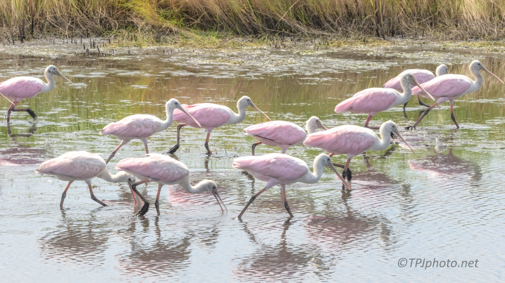The Pink Parade, Spoonbills - click to enlarge