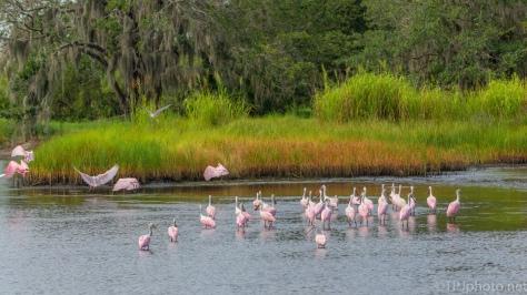Spoonbills Flocking - click to enlarge