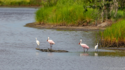 Spoonbills Flocking - click to enlarge