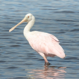 Spoonbill Up Close - click to enlarge