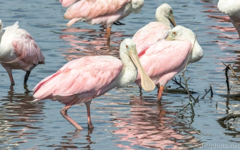 In A Flock, Spoonbills - click to enlarge