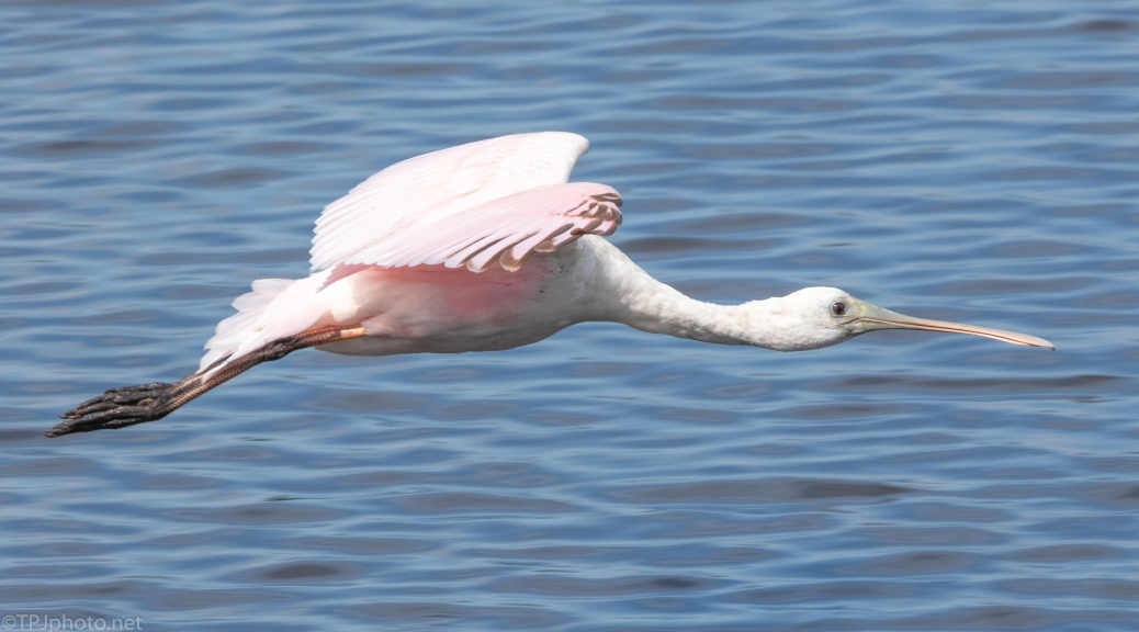 Spoonbill Passing Through - click to enlarge