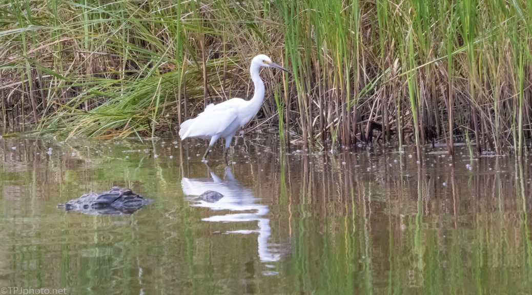 Not A Good Idea, Egret, Alligator - click to enlarge