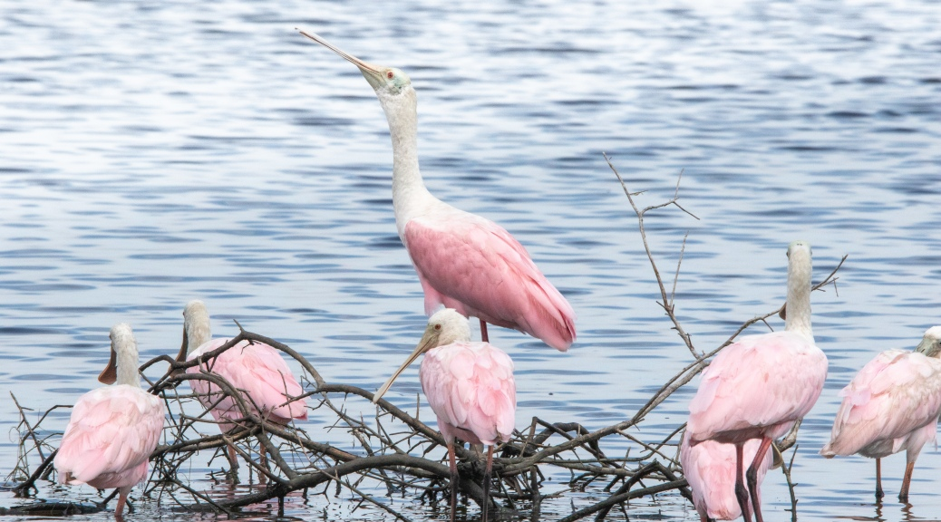 Spoonbill Claiming The High Ground - click to enlarge