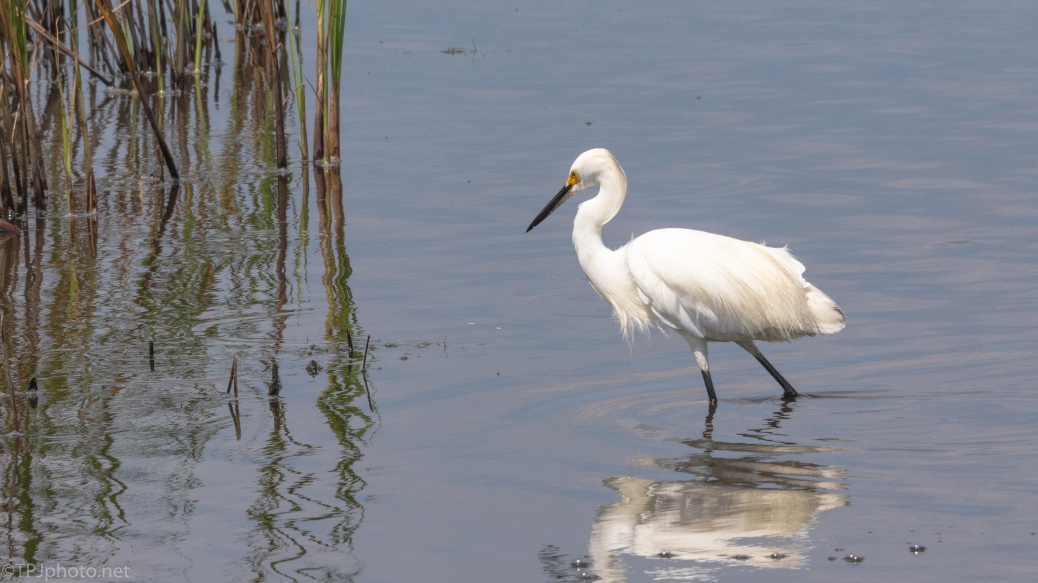 Snowy Egret Looking Around The Shallows - click to enlarge