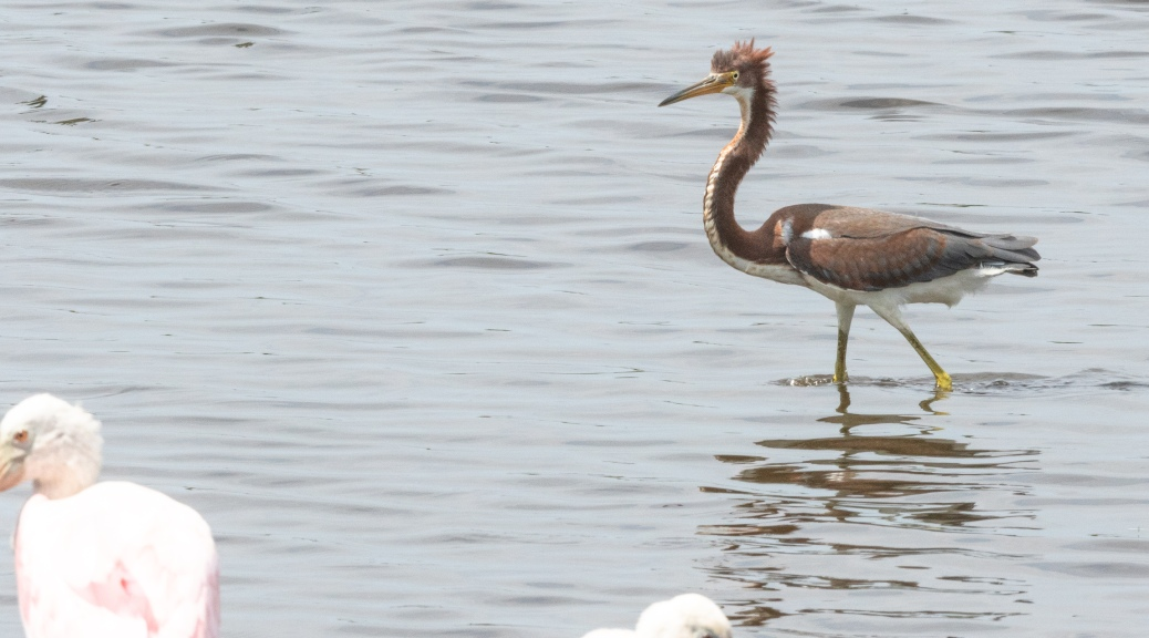 Looking Ridiculous, Tricolored Heron - click to enlarge