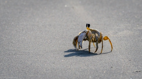 Ghost Crab - click to enlarge