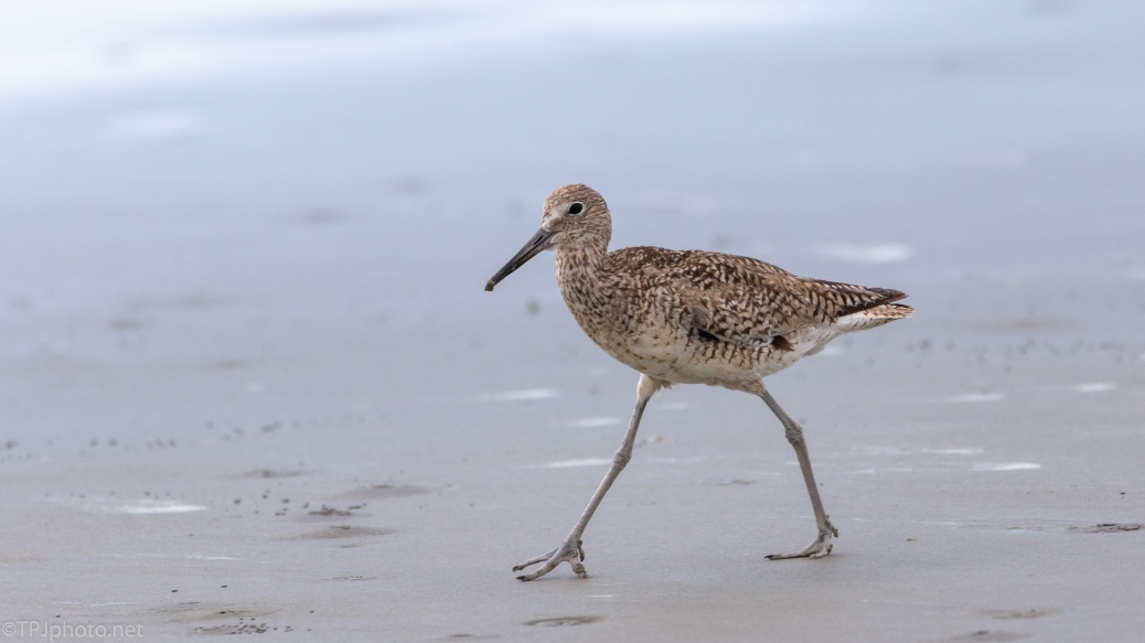 Strolling Willet - click to enlarge