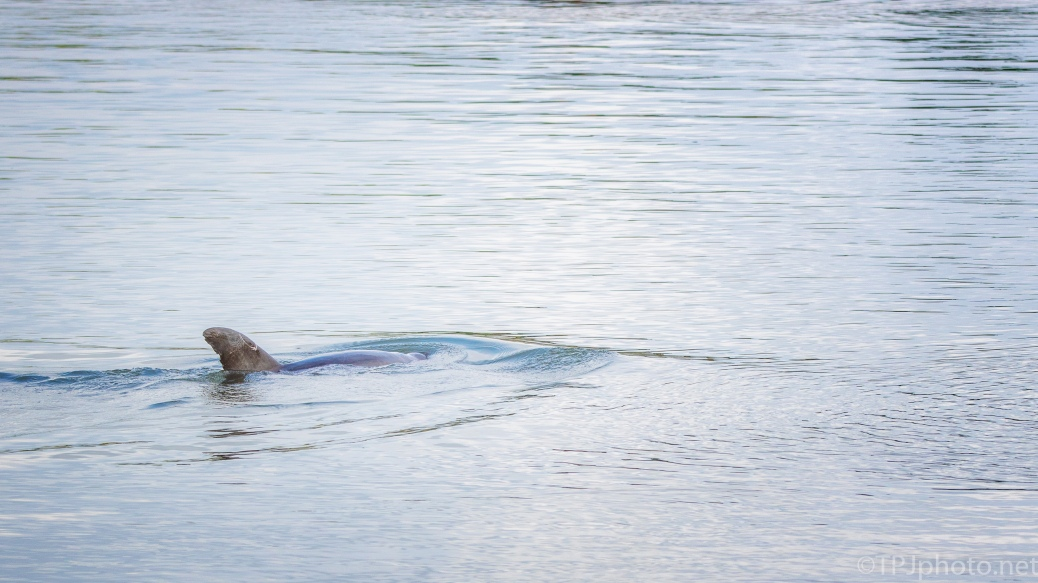 First Sighting Of The Day, Dolphin - click to enlarge