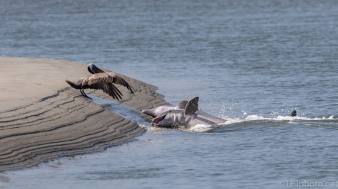 Dolphins, A Quick Chase - click to enlarge