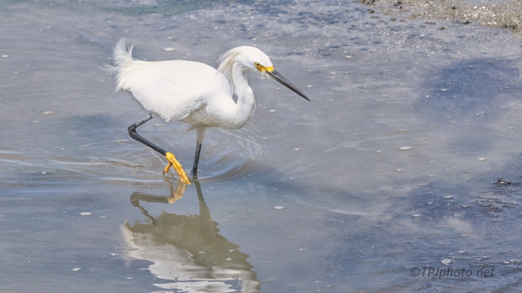 Grumpy Snowy Egret - click to enlarge