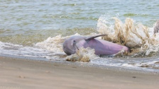 Dolphin Grabbing A Fish On Shore - click to enlarge