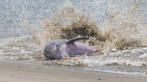 Dolphin Stranding A Fish - click to enlarge