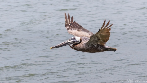 Brown Pelican Following The Tide - click to enlarge