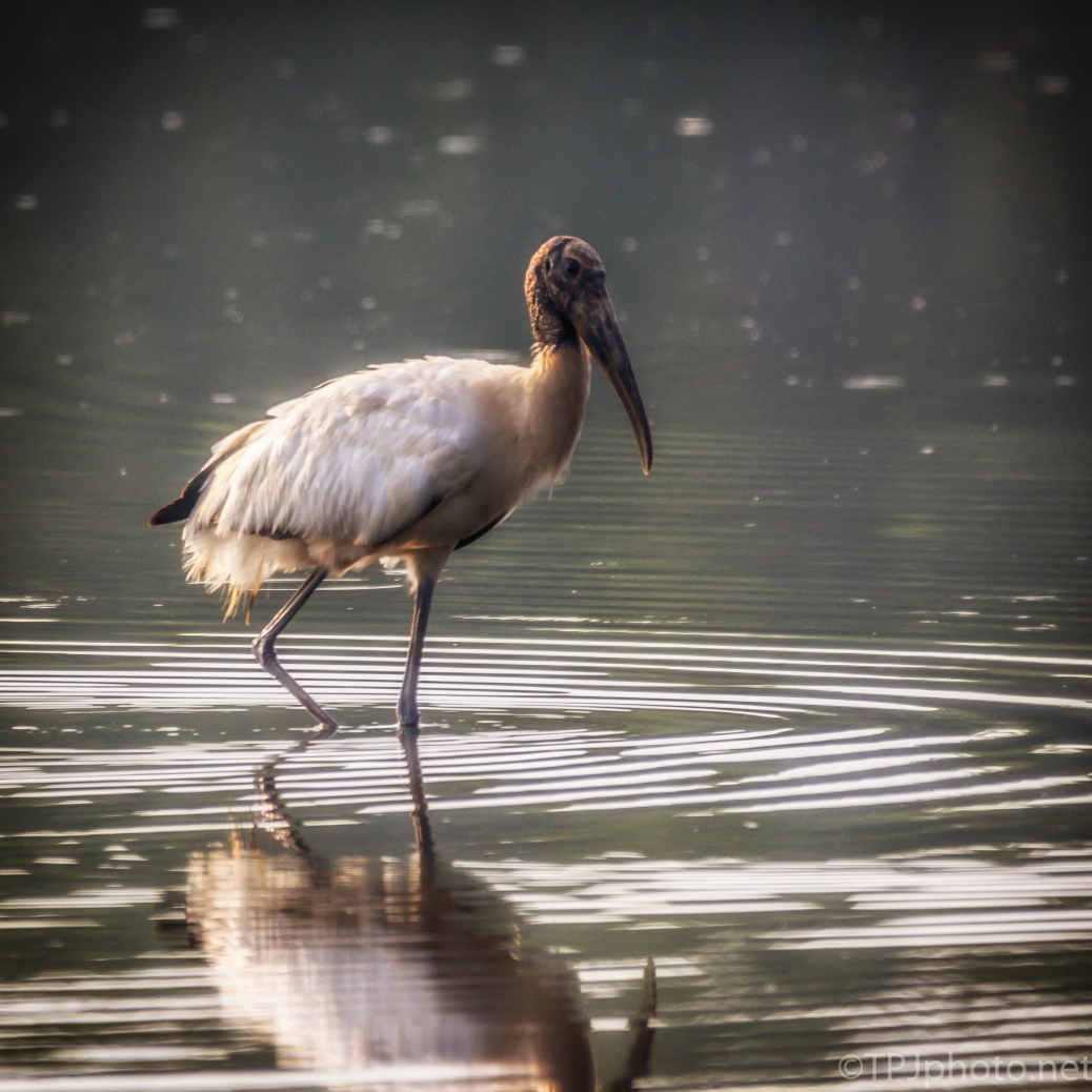 Wood Stork Early Glare - click to enlarge