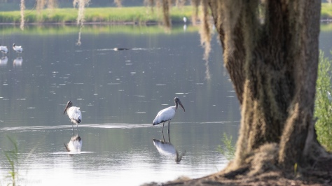 First Sighting Of Wood Storks - click to enlarge
