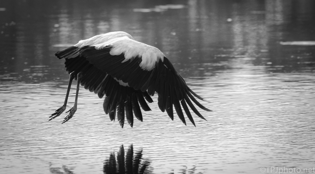B&W, Wood Stork - click to enlarge