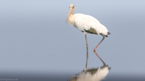 Wood Stork Walking By - click to enlarge