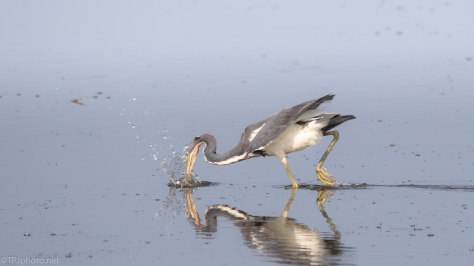 The Agility Of A Tricolored Heron - click to enlarge