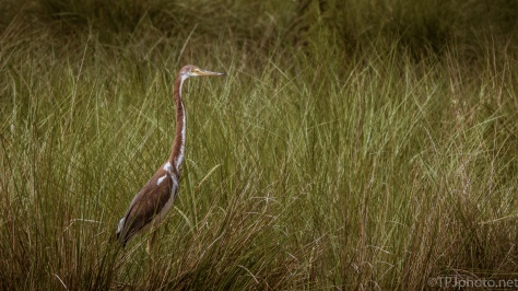 Tricolored Heron Through A Hole In The Grasses - click to enlarge