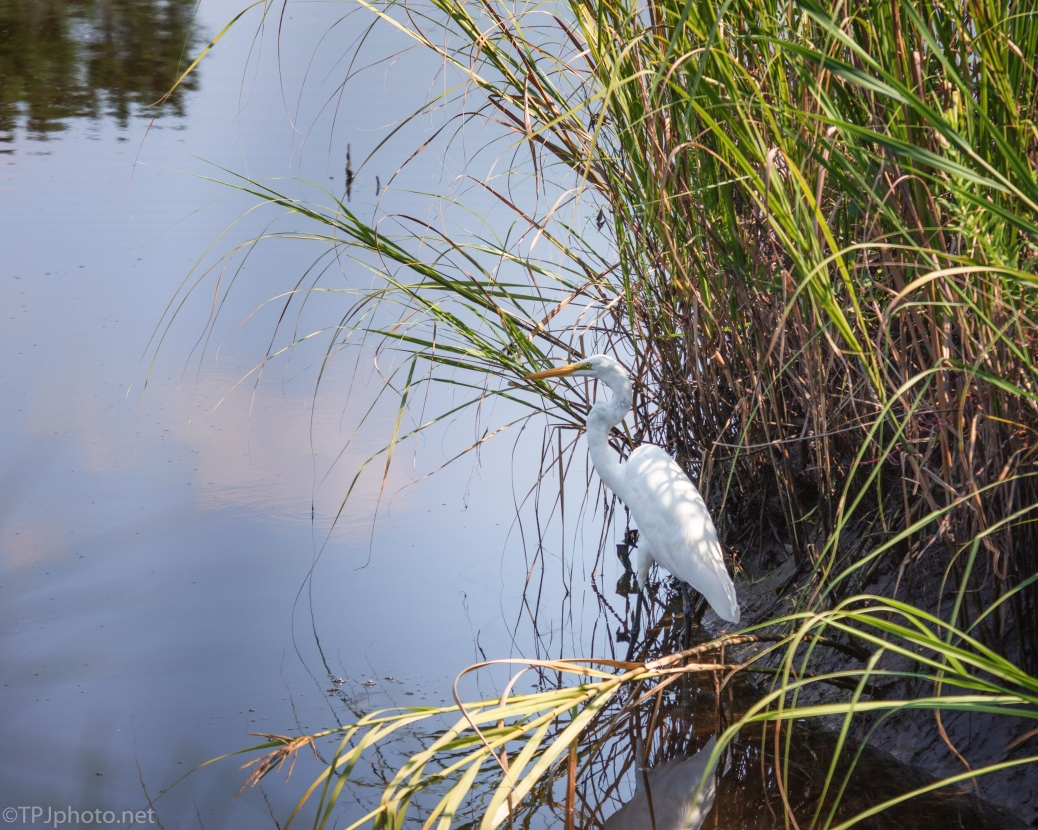 Hiding, Great Egret - click to enlarge