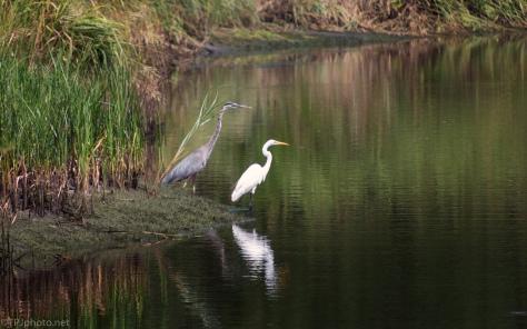 Side By Side, Egret, Heron - click to enlarge