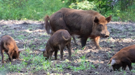 Wild Boar, Wild Pigs - click to enlarge